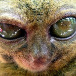 Tarsiers love freedom